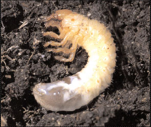 Figure 3. Turfgrass-infesting white grub larvae feeding on grass roots. Grubs are most damaging when they reach a length of 1⁄2- to 1-inch.