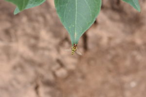 Figure 88. Syrphid fly.