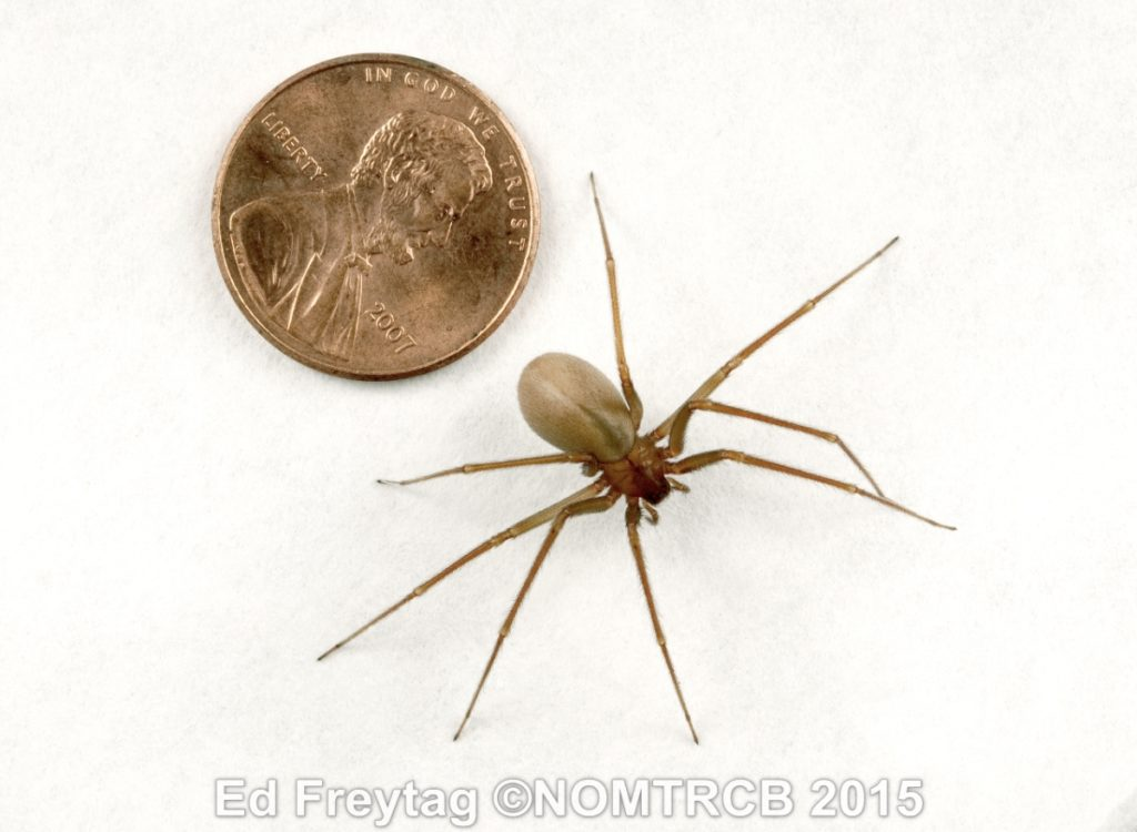 brown recluse spider next to penny