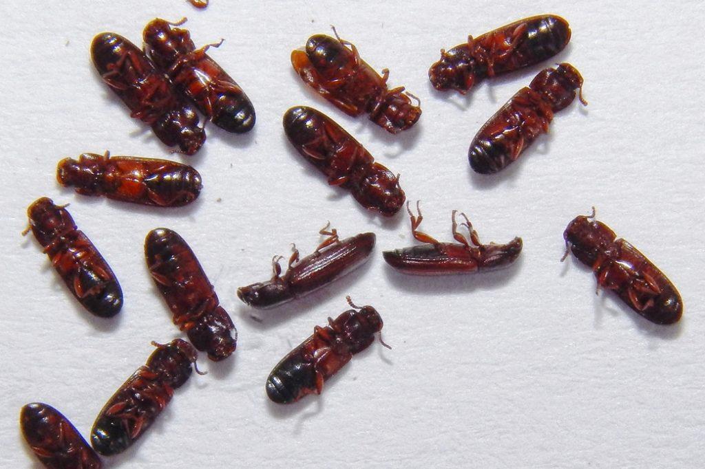Flour beetles. Photo credit: Salvador Vitanza, USDA-APHIS.