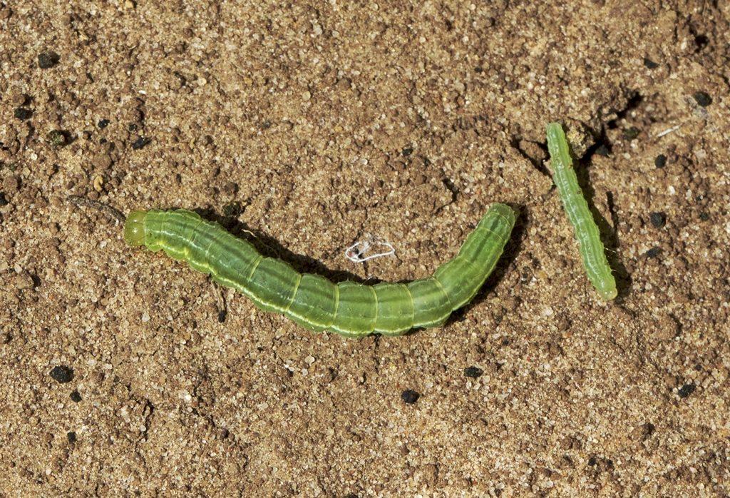 Green cloverworm larvae