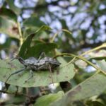 Figure 11. Wheel bug adult Bill Ree, Texas A&M AgriLife Extension