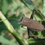 Figure 3. The leaffoted bug, Acanthocephala terminalis. Bill Ree, Texas A&M AgriLife Extension