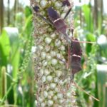 Figure 8. Leptoglossus phyllopus on pearl millet Bill Ree, Texas A&M AgriLife Extension