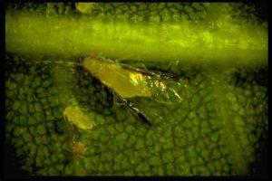 Figure 13. Blackmargined aphid winged adult