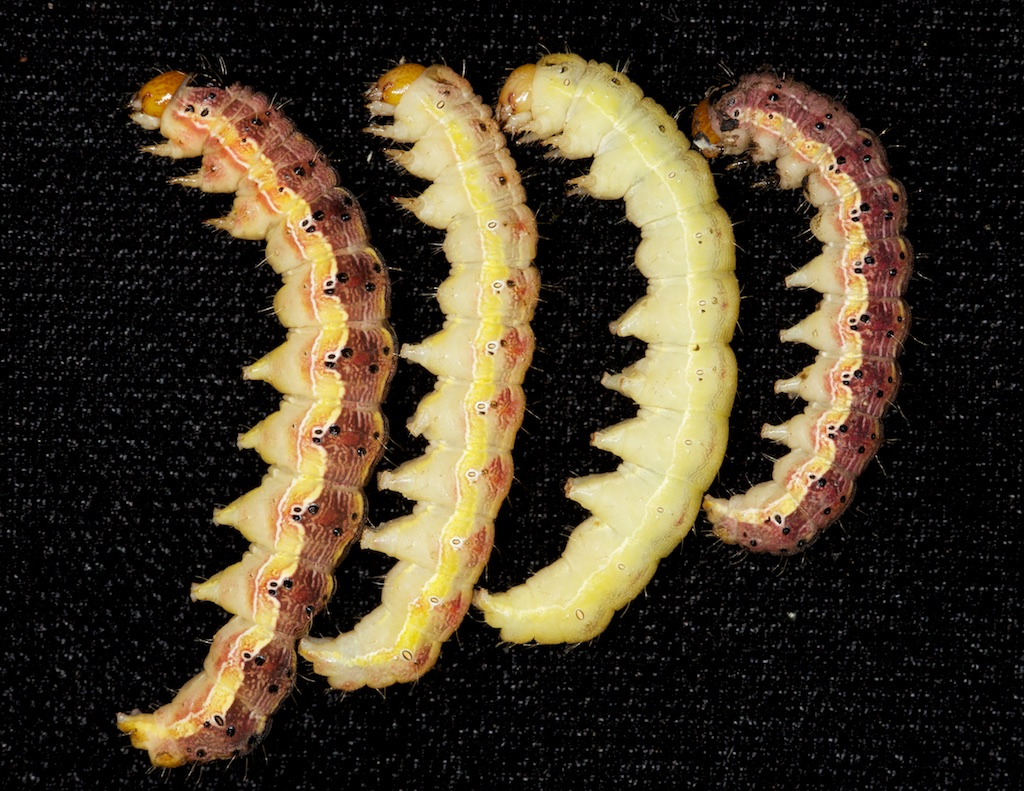 Red and yellow color forms of the corn earworm.