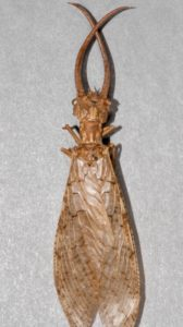 Male dobsonfly adult