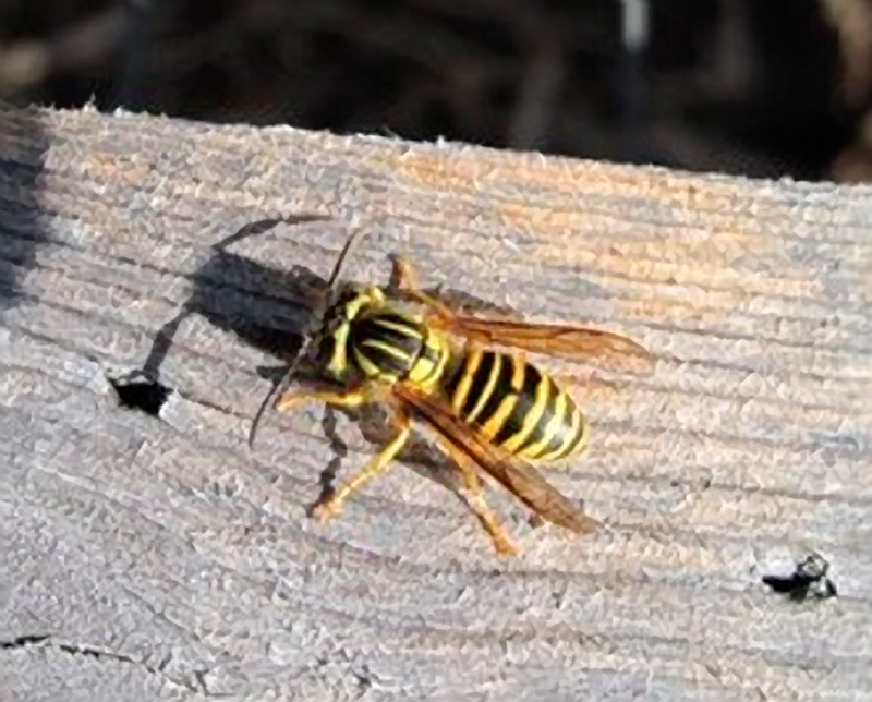 Southern yellowjacket adult. Photo credit: Gary Johnson.
