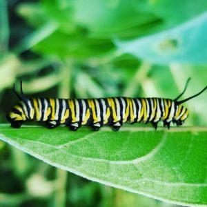 Monarch caterpillar feeding on a host plant.