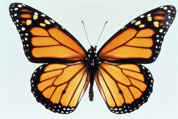 Monarch butterfly with its wings spread to show vein patterns.