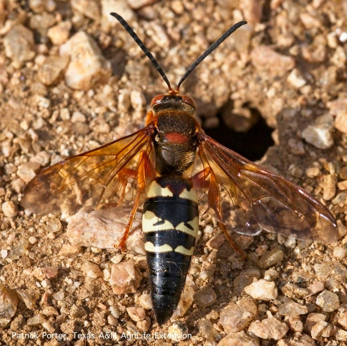 Cicada killer wasp and burrow entrance